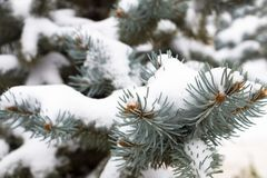 Gałąź błękitna świerczyna w śniegu obrazy royalty free