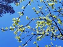 Gałąź berberys pospolity, skaczą dekoracyjni kwiaty na tle niebieskie niebo Fotografia Royalty Free
