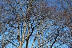Gałąź bez liści i niebieskiego nieba Fotografia Stock