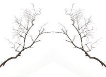 Gałąź bez liścia odizolowywającego na bielu Zdjęcie Royalty Free