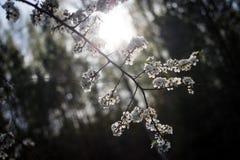 Gałąź biała wiśnia kwitnie w backlight fotografia stock