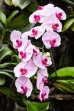 Gałąź biały i purpurowy orcrid Obrazy Royalty Free