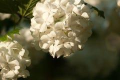 Gałąź biały viburnum snowball na zamazanym naturalnym tle Obraz Royalty Free