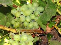 Gałąź biali winogrona Obrazy Stock