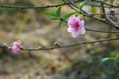 Gałąź brzoskwini okwitnięcie w wiosny równonocy zdjęcie stock