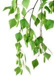 Gałąź brzoza z pączkami i liśćmi, odosobniona bez cienia Fotografia Royalty Free