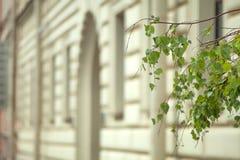 Gałąź brzozy drzewo z liśćmi na tle rozmyty o Fotografia Stock