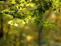 Gałąź buk w świetle słonecznym przeciw zamazanemu tłu Fotografia Stock