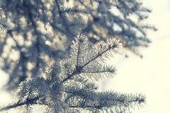 Gałąź choinka w Niedziela pogodnym popołudniu Zdjęcie Royalty Free