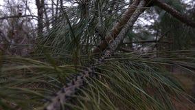 Gałąź Conifer zbiory