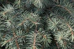 Gałąź conifers Zdjęcia Royalty Free