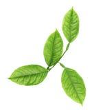 Gałąź cytryny drzewa liście Obraz Stock