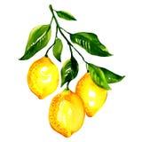 Gałąź cytryny z liśćmi odizolowywającymi Zdjęcia Stock