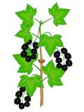 Gałąź czarny rodzynek z jagodami i liśćmi na białym tle ilustracji