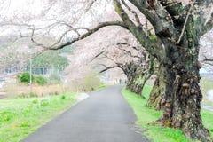 Gałąź czereśniowi drzewa i pałąkowatość nad chodniczkiem wzdłuż Shiroishi brzeg rzeki znoszący menchii okwitnięcia lubią tunel sa Zdjęcie Royalty Free