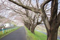 Gałąź czereśniowi drzewa i pałąkowatość nad chodniczkiem wzdłuż Shiroishi brzeg rzeki znoszący menchii okwitnięcia lubią tunel sa Zdjęcie Stock