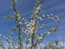 Gałąź czereśniowi okwitnięcia, biali kwiaty, ogrodowa woń, niebieskie niebo, kwitnie ogród, wiosna uprawiają ogródek, owocowi drz Obrazy Stock