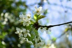 Gałąź czereśniowy drzewo w wiosny okwitnięciu Zdjęcia Royalty Free