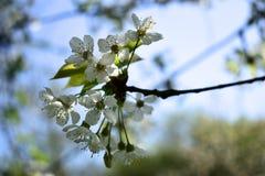 Gałąź czereśniowy drzewo w wiosny okwitnięciu Fotografia Royalty Free