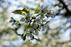 Gałąź czereśniowy drzewo w wiosny okwitnięciu Zdjęcie Royalty Free
