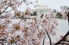 Gałąź Czereśniowy okwitnięcie Gromadzą się przy Thomas Jefferson pomnikiem Fotografia Royalty Free