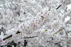 Gałąź Czereśniowy okwitnięcie Gromadzi się w Pełnym kwiacie Obraz Stock