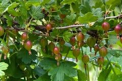Gałąź czerwoni agresty w ogródzie Zdjęcie Stock