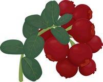 Gałąź czerwony lingonberry z zielonymi liśćmi Zdjęcie Stock