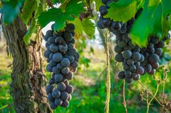 Gałąź czerwonych win winogrona r w Włoskich polach Zamyka w górę widoku świeży czerwonego wina winogrono w Włochy Winnicy widok z zdjęcia stock