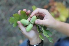 Gałąź dąb zieleni acorns w dziecko rękach z copyspace Zdjęcie Royalty Free