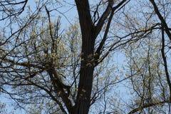 Gałąź Dębowy drzewo z kwiatami Obraz Stock