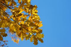 Gałąź dębowy drzewo z yellowed liśćmi przeciw niebieskiego nieba tłu Zdjęcia Royalty Free