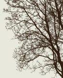 Gałąź deciduous drzewo bez liści Obrazy Stock