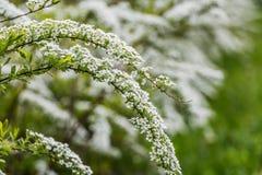 Gałąź Dekoracyjny deciduous krzak Spirea szary Grefsheim z zielenią opuszczają w parku w wiośnie, biały kwitnąć zdjęcia stock