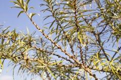 Gałąź dennego buckthorn drzewo Obraz Stock