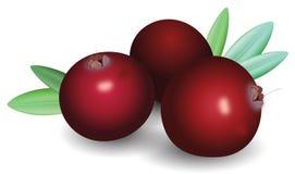 Gałąź dojrzali czerwoni cranberries Zdjęcie Royalty Free