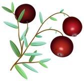 Gałąź dojrzali czerwoni cranberries z liśćmi Zdjęcia Stock