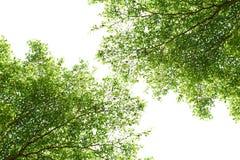 GAŁĄŹ drzewa Zdjęcia Royalty Free