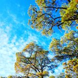 Gałąź drzewa przeciw niebieskim niebom Obraz Royalty Free