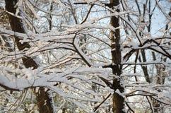 Gałąź drzewa w śniegu Zdjęcia Royalty Free