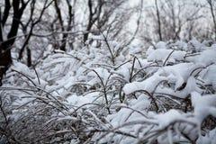 Gałąź drzewa zakrywający z śniegiem Obrazy Stock