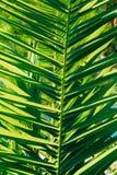Gałąź drzewka palmowego zakończenie Daktylowy drzewo Obraz Stock