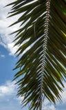 Gałąź drzewko palmowe Zdjęcia Royalty Free