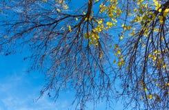 Gałąź drzewo na tle niebieskie niebo obrazy royalty free