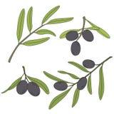 Gałąź drzewo oliwne z oliwkami Ilustracja Wektor