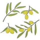 Gałąź drzewo oliwne z oliwkami Royalty Ilustracja