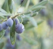 Gałąź drzewo oliwne z owoc i liśćmi, naturalny agricultura Zdjęcie Stock