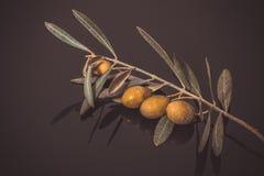 Gałąź drzewo oliwne z zielonej oliwki jagodami na czerni drewnianym Obraz Stock