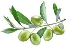 Gałąź drzewo oliwne z zielonymi oliwkami na nim. Obraz Royalty Free