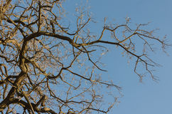 Gałąź drzewo przeciw niebieskiemu niebu Obrazy Royalty Free
